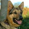 German Shepherd Rescue Of Orange County
