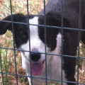 Found Border Collie